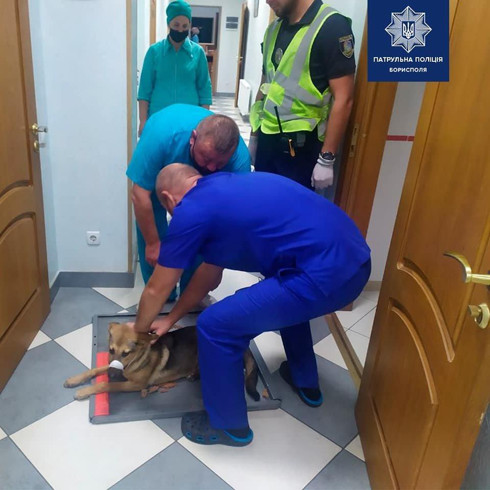 В Борисполі патрульні притягнули до відповідальності водія, що збив собаку, фото-2